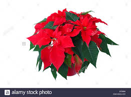Red Poinsetta Stock Photos Red Poinsetta Stock Images Alamy