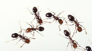 Image result for semut banyak di lantai