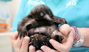 baby puggle echidna. Brilliant Puggle In Baby Puggle Echidna