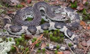 Georgia Snake Identification Chart Species Profile Pine Snake Pituophis Melanoleucus Srel