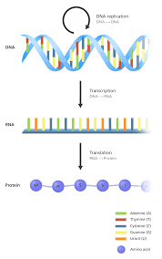 What Is The Central Dogma Facts Yourgenome Org