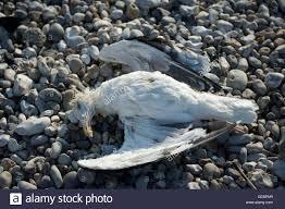 Dead seagull sur la plage de Rachel Payette Le Havre sur l ...