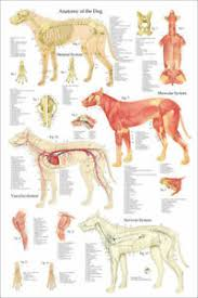 Canine Muscle Chart Details About Dog Muscle Skeletal Anatomy Veterinary Poster 24 X 36 Canine Wall Chart