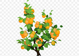 citrus apricot cand fruit fruit tree