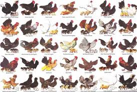 Bantam Chart2 Chickens Backyard Chicken Breeds Chicken