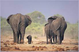 1338 #elephants #animal #wallpapers ...