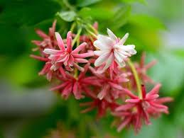 Hoa Sử Quân Tử loài hoa leo giàn đẹp lại dễ trồng, chăm sóc « iuHoa