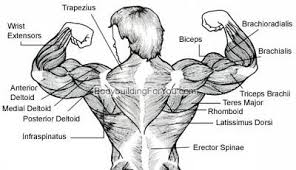 How To A Build A Thicker Wider Back Aesthetic Muscle