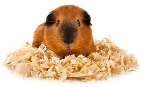 best bedding for guinea pigs in 2020
