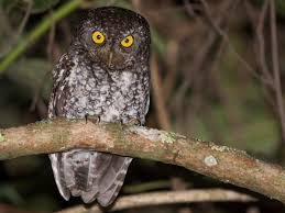 Bearded Screech Owl Introduction Neotropical Birds Online