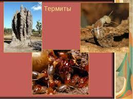 Реферат Биология Насекомые Доклад по биологии 7 класс на тему термиты