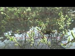 kokinshu poems 古今和歌集 the kokinshu spring s p i 11 Весенние