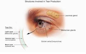diagram shows structures in the eye involved in tear ion