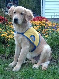 golden retriever lab mix. Interesting Mix White Labrador Golden Retriever Mix Goldens Retrievers  Yellow Lab Puppies Inside