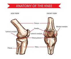 License image the bones of the leg are the femur, tibia, fibula and patella. Premium Vector Anatomy Of Human Knee Sketch Of Leg Bones And Joint Medicine Side And Front View Of Knee Bones Hand Drawn Femur Patella Tibia And Fibula Tibial Plateau And