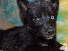 pure black husky puppy. Fine Puppy AKC Siberian Husky Female Puppy Solid Black With Bi Throughout Pure
