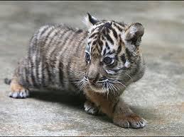 cute baby tiger wallpaper. Modren Baby Baby Tiger Photography In Cute Baby Tiger Wallpaper