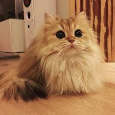 cute fluffy cats tumblr. Modren Tumblr Beautifulfluffycatbritishlonghair2 In Cute Fluffy Cats Tumblr