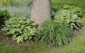 hosta plant panions in the garden