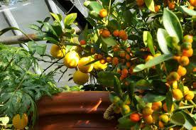 Kumquat Tree Info U2013 How To Care For Kumquat TreesKumquat Tree Not Bearing Fruit