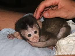 finally raise human es not monkey es
