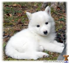 pure white wolf pup. Beautiful Pup Pure White Wolf Pup  Photo3 In White Wolf Pup Animalialifeclub