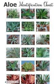 Aloe Succulent Plants Identification Chart