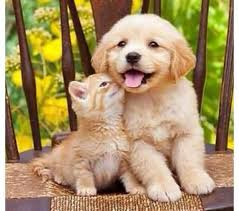 golden retriever puppy and kitten.  Puppy Golden Retriever Puppy With An Orange Kitten Throughout Puppy And Kitten