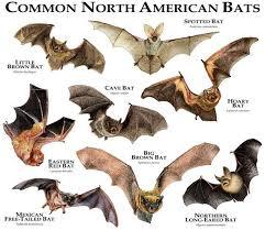 Bat Species Chart Common Bats Of North America Poster Print Bat Photos Bat