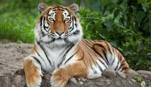 The Worlds Largest Big Cats Worldatlas Com