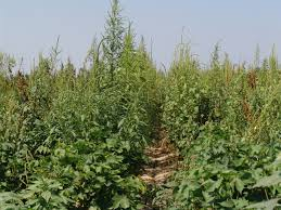 Palmer Amaranth Palmer Amaranth What Happens Next Peterson Farms Seed