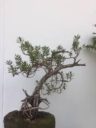 อีก1ต้นที่รักครับ #บอนไซเทียนทะเล - หัวบัวบกป่า,บัวบกโขด ราคาถูกๆ