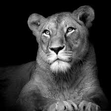 lioness. Perfect Lioness Photo The Lioness  Lukas Holas To