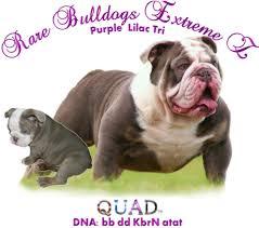 akc rare color english bulldogs lilac blue chocolate black mini merle english bulldogs midget bulldogs