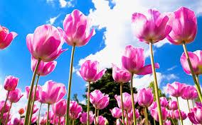 Spring Tulips Desktop Wallpapers ...