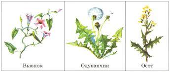 Поле Растения и животные полей Отличия от природных экосистем  Сорняки вьюнок одуванчик осот