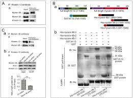 Kinesin Light Chain Antibody Depletion Of Kinesin 12 A Myosin Iib Interacting Protein