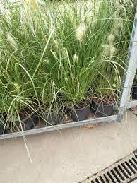 Help Identifying A Grass Forum Gardenersworld Com