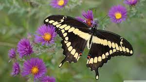 Butterfly on Purple Flower Ultra HD ...
