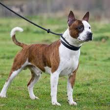 Staffordshire Bull Terrier Dog Breed ...