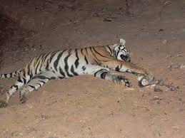 legal framework for wildlife conservation in conservation  a tiger caught in a trap