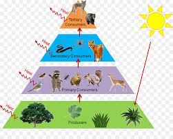 food web pyramid trophic level food web food chain ecological pyramid ecology