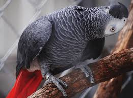 Healthy Signs of an African Grey Parrot - African Parrot Grey health diet  personality intelligence and care