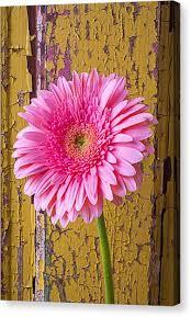 gerbera daisy canvas print pink daisy against yellow wall by garry gay on gerbera daisy canvas wall art with gerbera daisy canvas prints page 6 of 240 fine art america