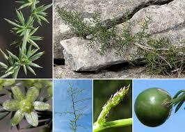 Asparagus acutifolius L. - Sistema informativo sulla flora vascolare ...
