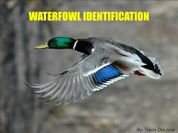 Ppt Waterfowl Identification Powerpoint Presentation Free