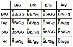 Eye Colour Prediction Chart Eye Color Genetics Science Project Education Com