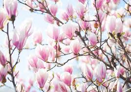 brilliant magnolias also known as saucer magnolias tulip magnolias or mulan trees