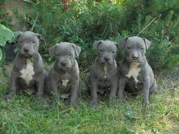 Breeders were looking for a dog that had the. Hunde Rassehunde Pit Bull Tieranzeigen