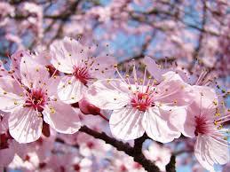 Bunga Sakura Tak Perlu Ke Jepang Anda Juga Bisa Melihat Keindahan Bunga